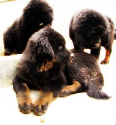 1000 images about tibetan mastiff on pinterest tibetan mastiff