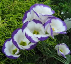 Lisianthus Flora, My Favorite Things, Plants, Plant