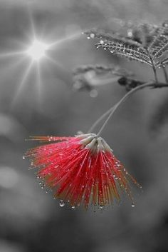 ~~Calliandra eriophylla by myu-myu~~ or, Mimosa tree bloom . Splash Photography, Color Photography, Black And White Photography, Nature Photography, People Photography, Photography Poses, Landscape Photography, Travel Photography, Color Splash