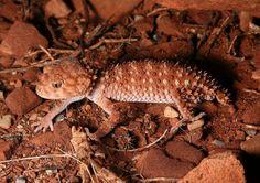 Knobtailed Gecko  near Ormiston Gorge West MacDonnell National Park | Endless Wildlife