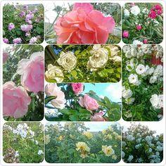 Rosornas tid är nu! #Visingsö #sommar #rosor #semester