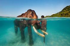 #Elefantes bajo el agua en las Islas Andaman, #India