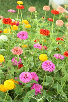 I love all kinds of flowers, but Zinnias just seem so happy and free. I've always loved them. They remind me of the goodness of God.