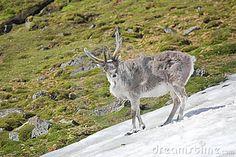 Reno salvaje joven en la tundra ártica - Spitsbergen