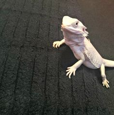 The Bearded Dragon Is The Coolest Reptile In The World Bearded Dragon Vivarium, Bearded Dragon Cute, Cute Reptiles, Reptiles And Amphibians, Classroom Pets, Animal Pictures, Zero, Cute Animals, Creatures