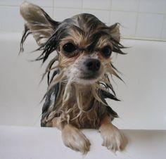 Homemade pet shampoo
