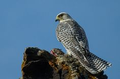 ICELAND: The largest falcon in the world, the Gyrfalcon (Falco rusticolus) breeds in arctic and subarctic regions of the northern hemisphere. It preys mostly on large birds, pursuing them in breathtakingly fast and powerful flight.