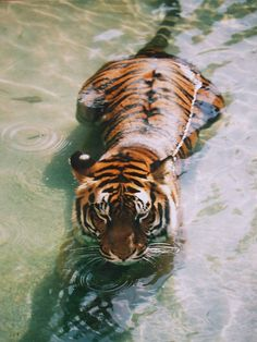 What a cute tiger. Too bad it wouldn't hesitate to try and eat you.