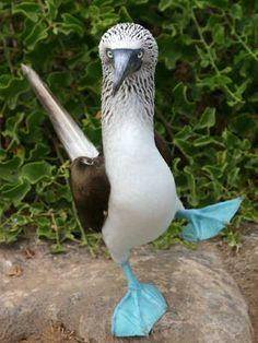the blue-footed boobie; only one example of God's sense of humor.  people being another...