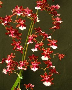 Oncidium Sharry Baby 'Sweet Fragrance' (Jamie Sutton x Honolulu) Fragrant, I place three of these on fireplace mantle during the holidays - so beautiful
