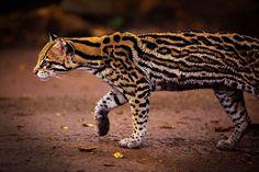L'Ocelot (Leopardus Pardalis)