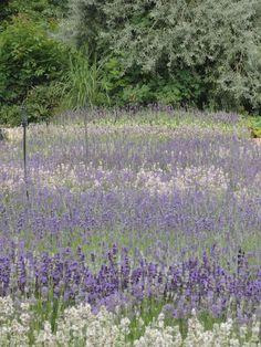Kwekerij Bastin ~ Lavendeldagen