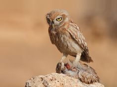 Little Owl (Athene noctua) exhibiting cainism. Photo by Assaf Gavra.