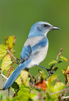 Florida Scrub Jay. So rare now because its habitat is being gobbled up by development.