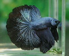 Steel Blue Black Lace HM