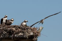 Osprey coming home