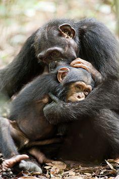 Photo from the upcoming Disney movie Chimpanzee
