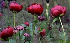 How to move and divide herbaceous peonies