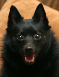 Active and agile, the Schipperke features a graceful and smooth trot, which originates from its part as a vermin hunter and watchdog.