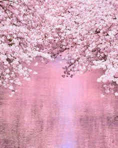 "lifeisverybeautiful: ""Cherry Blossom, Aichi, Japan by Yuma_Yoshizawa "" Cherry Blossom Background, Sakura Cherry Blossom, Japanese Cherry Blossoms, Cherry Blossom Wallpaper, Beautiful Flowers, Beautiful Places, Spring Aesthetic, Blossom Trees, Blossom Flower"