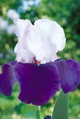 Iris Germanica Snow Mound
