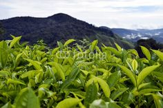 Cameron Highlands Tea Plantation Malaysia Cameron Highlands, Tea, Mountains, Nature, Plants, Travel, High Tea, Naturaleza, Viajes