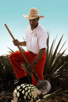 Agave Tequilana Worker, Mejico. Blue Agave or Tequila agave is a native of Jalisco, Mexico. Tequila is produced by removing the heart (piña) of the plant in its twelfth year. Harvested piñas normally weigh 36 to 91 kg.