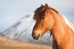 Icelandic Horse Portrait - http://www.1pic4u.com/blog/2014/10/08/icelandic-horse-portrait/