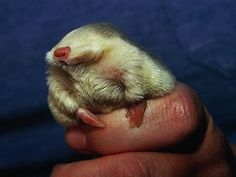 Human hands actually evolved for the sole purpose of serving as golden mole chariots.