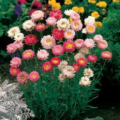 What a dilemma -- these Paper Daisies    h2f. 2i bloom