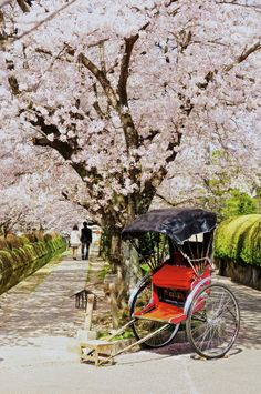 Sakura road in Kyoto, Japan.I want to go see this place one day. Go To Japan, Visit Japan, Cherry Blossom Japan, Cherry Blossoms, Japan Sakura, Memoirs Of A Geisha, Art Japonais, Yukata, Japanese Culture