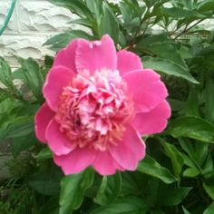 The first bloom on my transplanted peonies. It is so pretty! Social Well Being, Hormone Imbalance, Cardiovascular Disease, Relationship Issues, Body Image, Bloom, Positivity, Peonies, Flowers