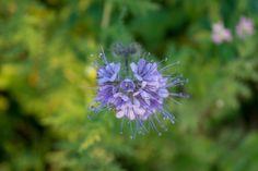 November,15 Lindau, Switzerland Switzerland, Dandelion, November, Flowers, Plants, November Born, Flora, Royal Icing Flowers, Dandelions