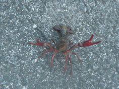 Crawfish, Dragon Run Delaware City, Dragon, Dragons