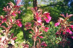 """A picture of """"Wine and Roses"""" weigela  shrub flowers I planted earlier."""
