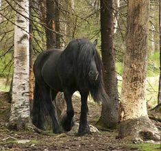Draft Horse | Black North Swedish Draft Horse; Awesome!
