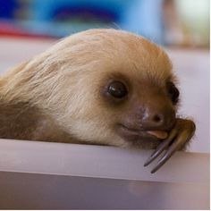 Baby sloth. How something can be so ugly, and yet so cute is beyond me...