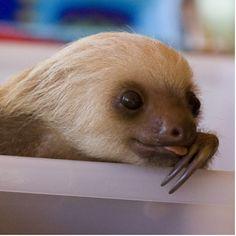baby sloth <3