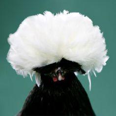 Chicken Breeds - Polish