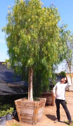 Advantages of a Shade Garden – Style Gardening Fast Growing Evergreens, Fast Growing Trees, Backyard Shade, Shade Garden, Garden Yard Ideas, Garden Trees, Evergreen Trees Landscaping, Landscaping Ideas, Pepper Tree