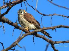Halconcito Colorado Falco sparverius