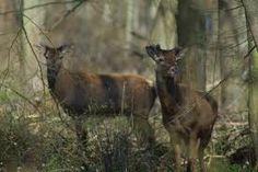 Les cerfs de la forêt de Chantilly, France www.verychantilly.com