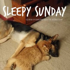 GSD Jack and Pumpkin loved by Terra Cohn