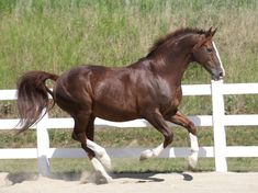 Gold Luck. The Oldenburg Horse Breeders' Society | OH | News | News