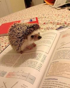 22 Hedgehogs That Will Make You Wish You Had a Hedgehog Cute Little Animals, Cute Funny Animals, Funny Cute, Hedgehog Pet, Cute Hedgehog, Happy Hedgehog, Cute Creatures, Beautiful Creatures, Animals And Pets