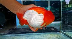 Bring it. Goldfish Types, Pet Goldfish, Goldfish Aquarium, Goldfish Tank, Koi, Sunken Eyes, Golden Fish, Gift Suggestions, Lovely Creatures