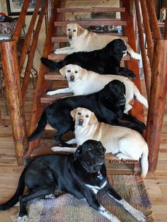 "Black and Yellow Labs - How pretty!  I wonder how they made them ""stay""?"