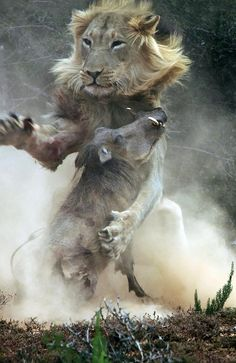 Attack... The battle between the warthog and lion heats up. Picture: Picture Media