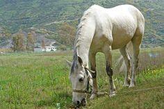 Valkoisia hevosia
