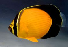 Arabian Butterflyfish (Chaetodon melapterus)